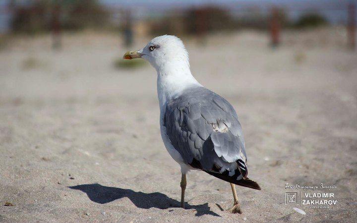 Чайка на песке