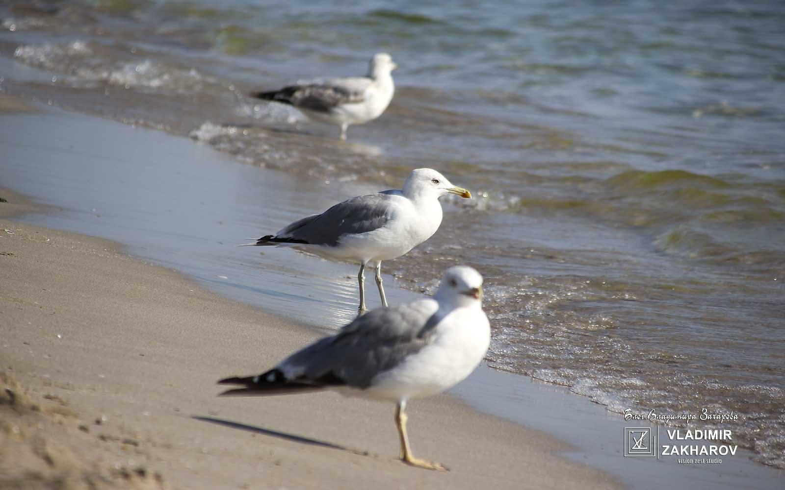 Чайки. Глубина резкости
