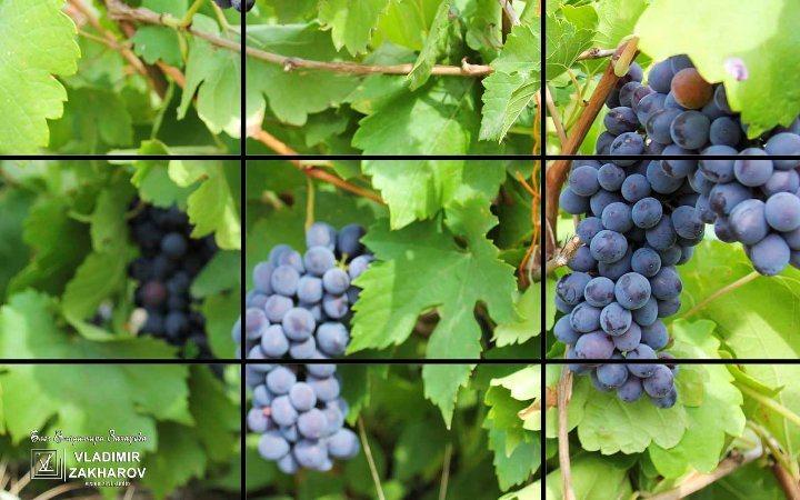 Виноград правило третей