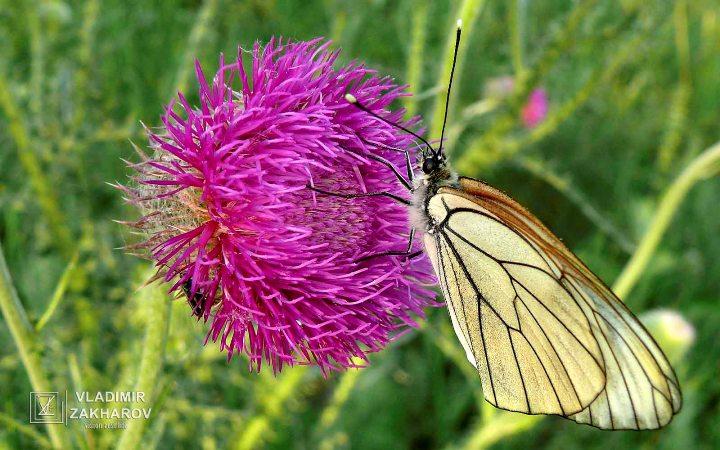 Бабочка 1.